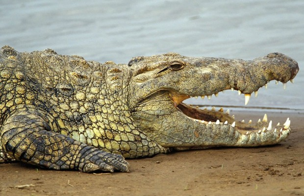 1463845156_nile_crocodile_02.jpg
