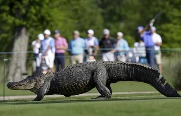 1464603049_alligator_golf_5.jpg
