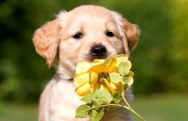 1465186993_dogs_retriever_puppy_337414.jpg