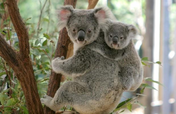 1465891779_koala.jpg